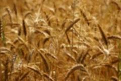 Nasiona traw pastewnych, Tybalt