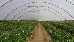 Systemy podłoży uprawowych dla truskawek