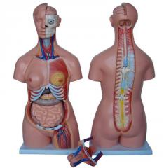 Models of a human anatomical