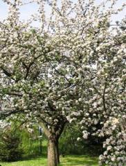 Sadzonki drzew owocowych.