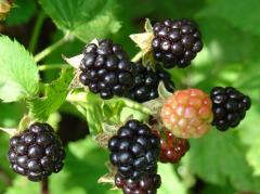 Blackberry seedlings
