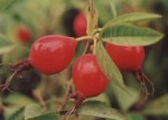 Sadzonki róży jabłkowatej  Karpatia