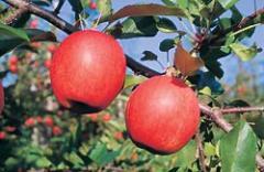 Winter apples