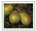 Sadzonki gruszy Lukasówka (Pyrus communis