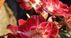Stem rose