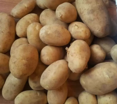 Very early potato sort