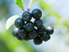 1-year shrubs chokeberry, aronia bush Nero