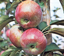 Apples ALWA