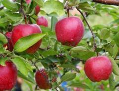 Sadzonki jabłonek, jabłonki różnych odmian