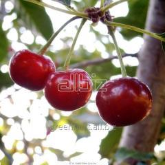 Wiśnia, drzewka wiśniowe odmiany: Łutówka,