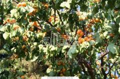 Sadzonki moreli, drzewka morela: Early Orange,