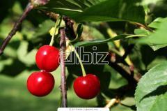 Sadzonki drzew owocowych: jabłonie, śliwy, wiśnie,