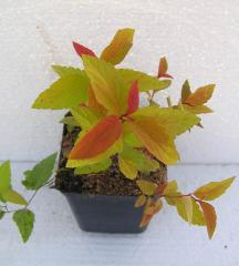 Krzewy liściaste