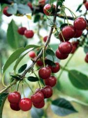Sadzonki wiśnie i czereśni, drzewka wiśniowe i