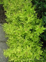 Spiraea japonica `Goldmound`