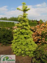"Abies concolor ""Wintergold"""
