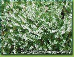 Calluna vulgaris 'Alba Plena'