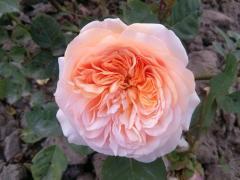 Sadzonki róży angielskiej