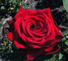 Róża, róże,