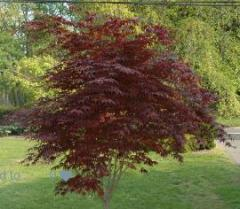Sadzonki drzew ozdobnych