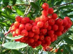 Sadzonki drzew: Jarząb pospolity (jarzębina)