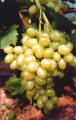 Sadzonki winorośli deserowych Arkadia