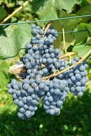 Sadzonki winorośli odmiany Rondo