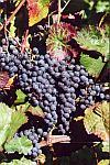 Sadzonki winorośli średniowczesnych Wiszniowyj