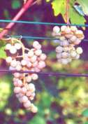 Sadzonki winorośli Serena