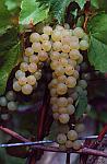 Sadzonki winorośli odmiany Aurora