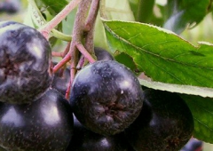 Chokeberry seedlings