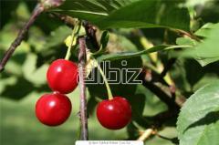 Sadzonki wiśni Sabina, Nefris, Łutówki