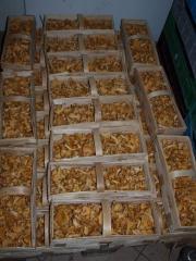 Grzyby kurki - pieprznik jadalny - mushroom