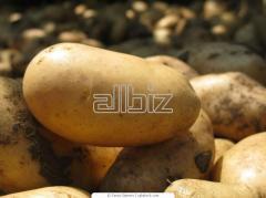 Fresh potatoes