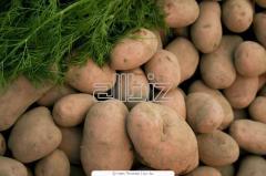 Ziemniaki żółte i czerwone na eksport