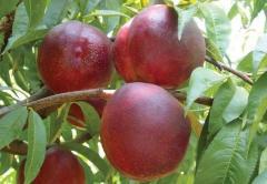 Brzoskwinie sadzonki producent drzewek owocowych