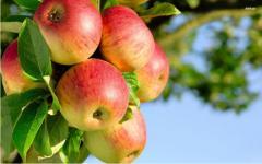 Les semis des pommes polonaises la plus haute