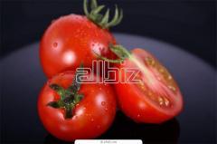 Pomidory gruntowe, pomidory szklarniowe, pomidory
