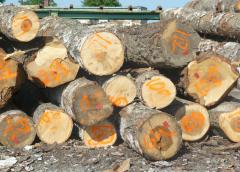 Drewno brzozowe sklejarskie