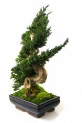 Drzewko Bonsai Ordo