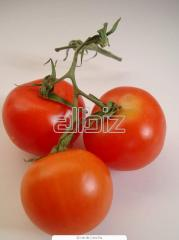 Low-growing tomatoes