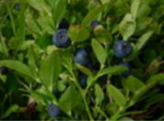 Owoce jagody oferowane i spożywane są w postaci