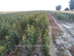 Sadzonki drzewek owocowych, różne gatunki i
