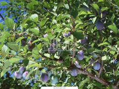 Sprzedam sadzonki drzew owocowych: sadzonki śliwy