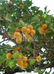 Sprzedam sadzonki drzew owocowych: sadzonki moreli.