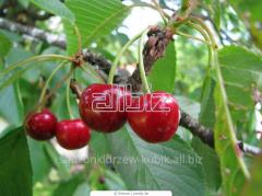 Sprzedam sadzonki drzew owocowych: sadzonki