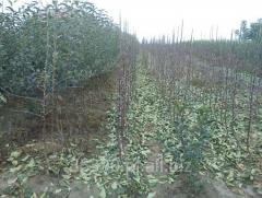 Sprzedam sadzonki drzew owocowych: jabłoń, śliw, moreli i czereśni. Dostępne różne odmiany sadzonek.