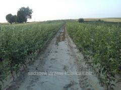 Sale seedlings of fruit trees, apple-trees ,