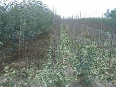 Саженцы плодово-ягодных деревьев