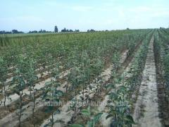 Sprzedaż sadzonek drzew owocowych. Dostępne sadzonki jabłoń, śliw, czereśni oraz moreli. Sadzonki dostępne w rożnych odmianach